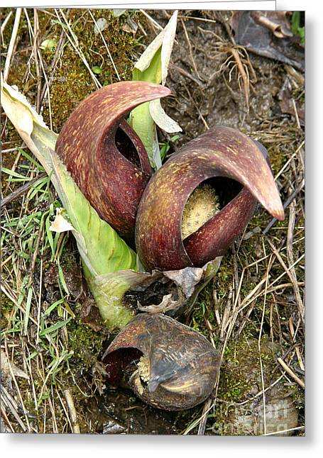 Smelly Greeting Cards - Skunk Cabbage Greeting Card by Ted Kinsman