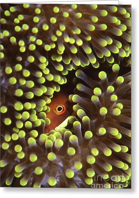 Skunk Clownfish Hiding In Anemone Greeting Card by Beverly Factor