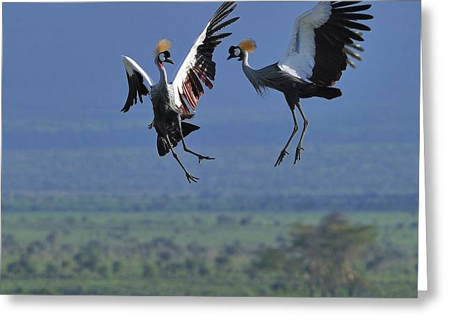 Bonding Greeting Cards - Sky Dance Greeting Card by Tony Beck