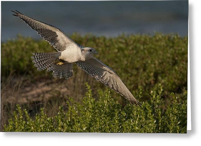 Soaring Falcon Greeting Cards - Sky Hunter Greeting Card by Wade Aiken