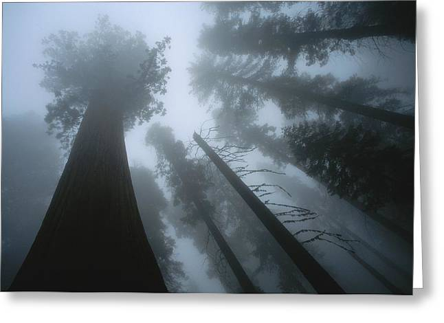 Forests And Forestry Greeting Cards - Skyward View Of Giant Sequoia Trees Greeting Card by Carsten Peter
