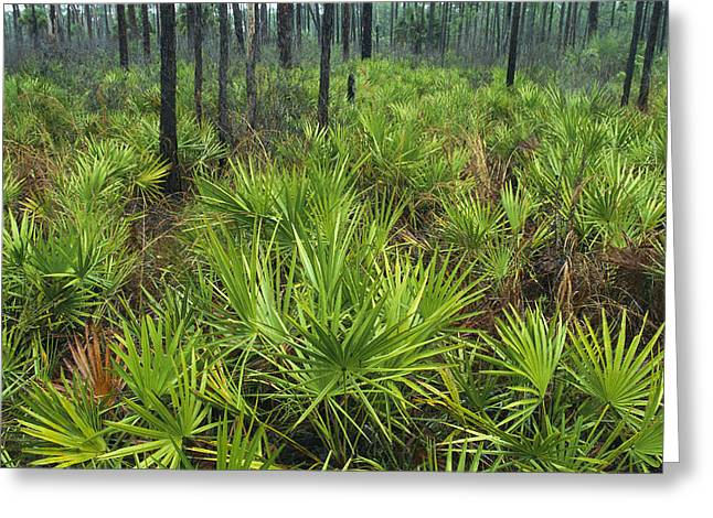 Saw Greeting Cards - Slash Pines And Saw Palmettos Greeting Card by Klaus Nigge