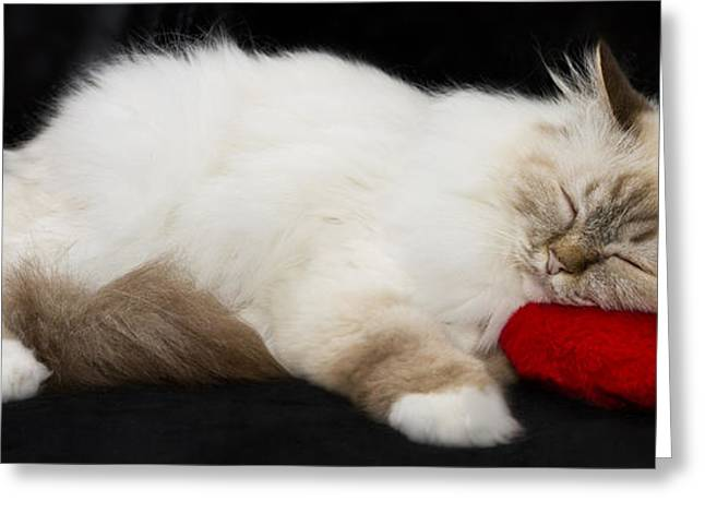 Pillow Greeting Cards - Sleeping Birman Greeting Card by Melanie Viola