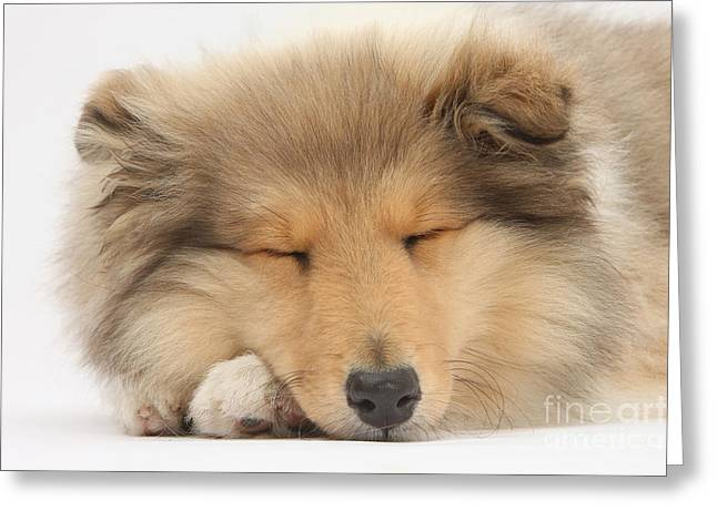 House Pet Greeting Cards - Sleeping Collie Greeting Card by Mark Taylor