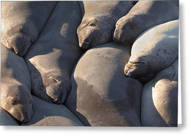 Best Sellers -  - Elephant Seals Greeting Cards - Sleeping Elephant Seals Greeting Card by Ian Frazier