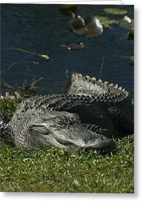 American Alligator Greeting Cards - Sleeping Giant Greeting Card by Cindi Ressler