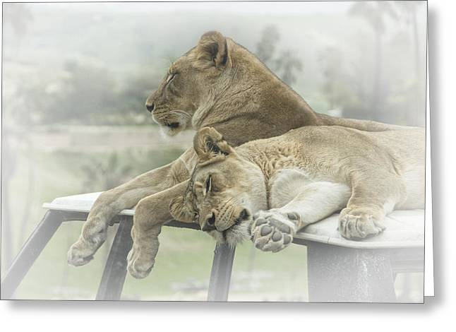 Lioness Greeting Cards - Sleeping Lions Greeting Card by Randall Nyhof