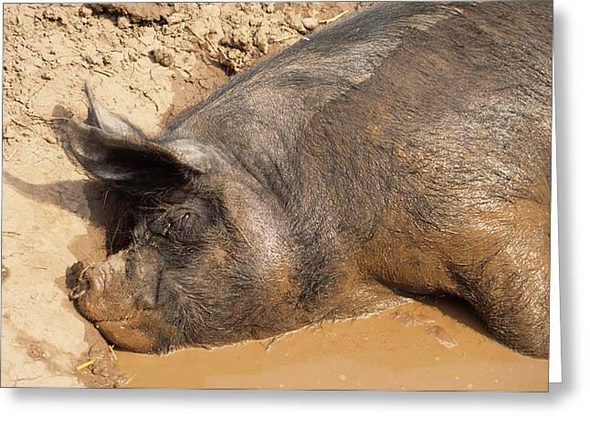 Su Greeting Cards - Sleeping Pig Greeting Card by David Aubrey
