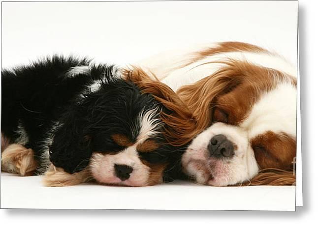 Sleeping Baby Animal Greeting Cards - Sleeping Pups Greeting Card by Jane Burton