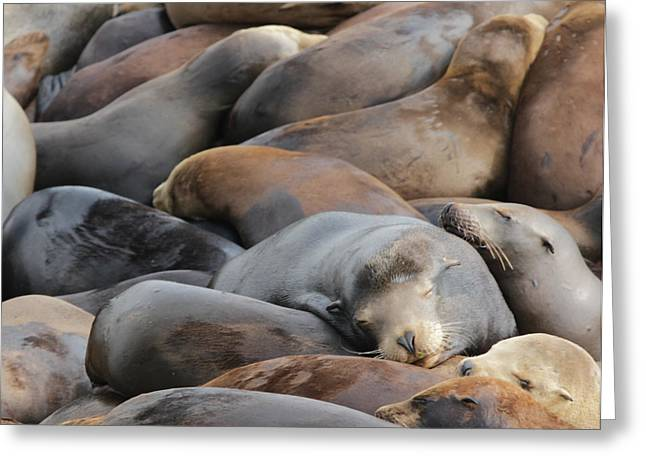 California Sea Lions Greeting Cards - Sleeping Sea Lions Greeting Card by Sakari Kouti