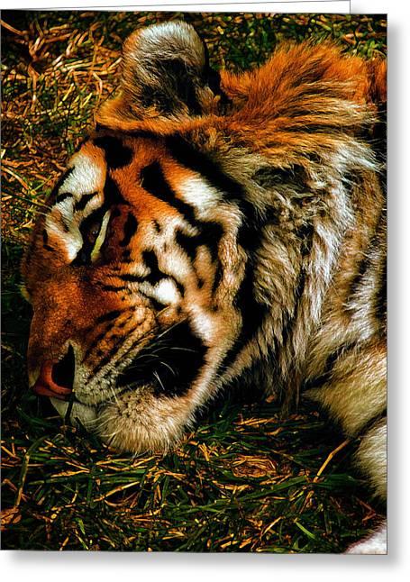 Altaica Greeting Cards - Sleepy Amur Tiger Greeting Card by Bill Tiepelman