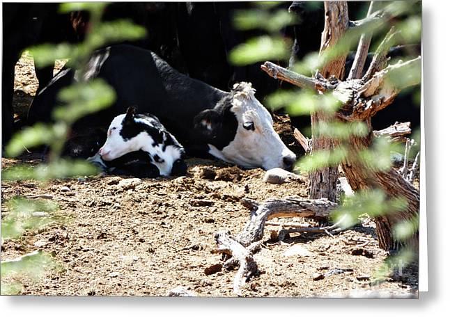 Methune Hively Greeting Cards - Sleepy Arizona Cows Greeting Card by Methune Hively