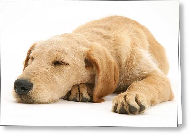 Bred Greeting Cards - Sleepy Labradoodle Puppy Greeting Card by Jane Burton