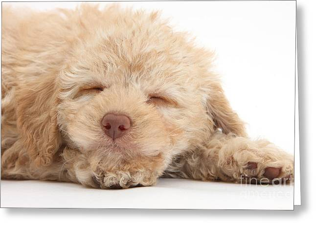 Toy Dog Greeting Cards - Sleepy Puppy Greeting Card by Mark Taylor