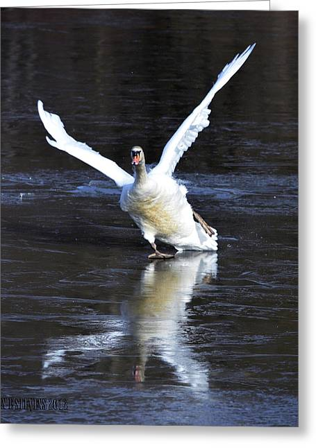 Swans... Greeting Cards - Slippery stop Greeting Card by Brian Stevens