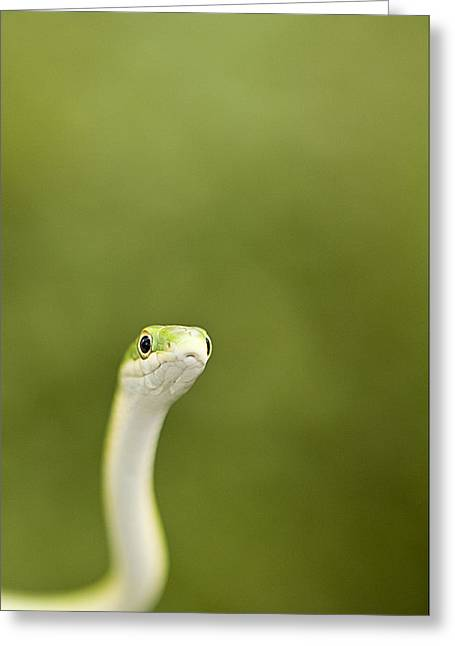 Hiss Greeting Cards - Slithery Curiosity Greeting Card by David Paul Murray