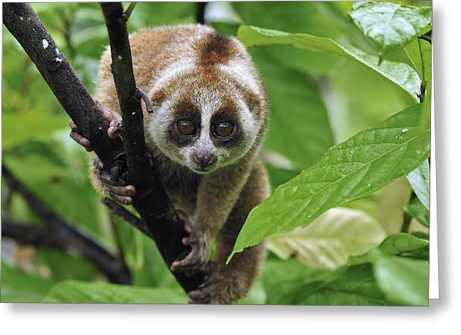 Threatened Species Greeting Cards - Slow Loris Nycticebus Coucang, Northern Greeting Card by Thomas Marent