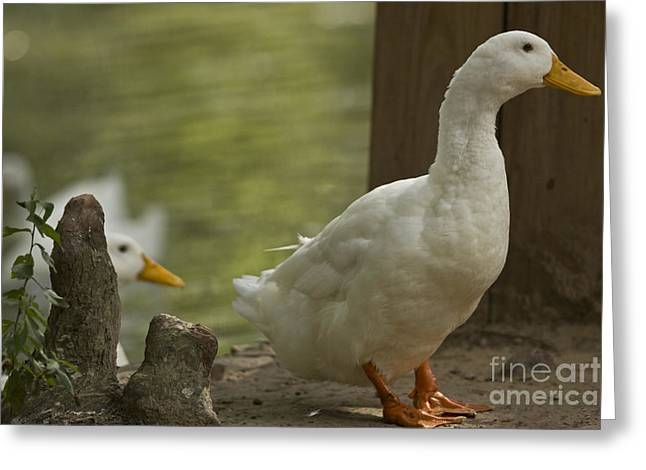 Water Fowl Mixed Media Greeting Cards - Slow to Exit Greeting Card by Kim Henderson