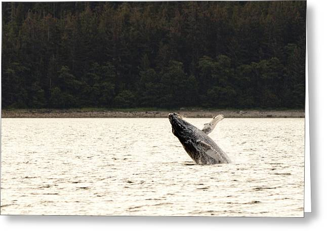 Small Breaching Whale Greeting Card by Darcy Michaelchuk