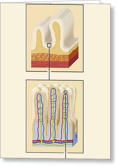 Small Intestine Greeting Cards - Small Intestine Structures, Artwork Greeting Card by Art For Science