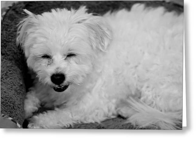 Coton Tulear Photographs Greeting Cards - Smile Greeting Card by Meldeine Sipes