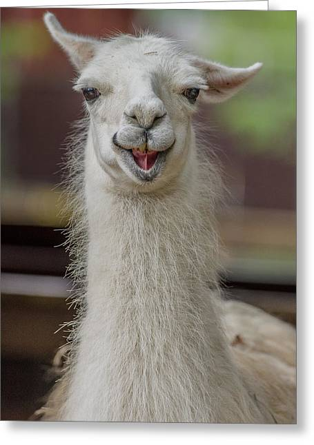 Alpaca Greeting Cards - Smiling Alpaca Greeting Card by Greg Nyquist