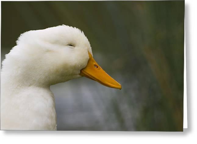 Tara Lynn Greeting Cards - Smiling Pekin Duck Greeting Card by Tara Lynn