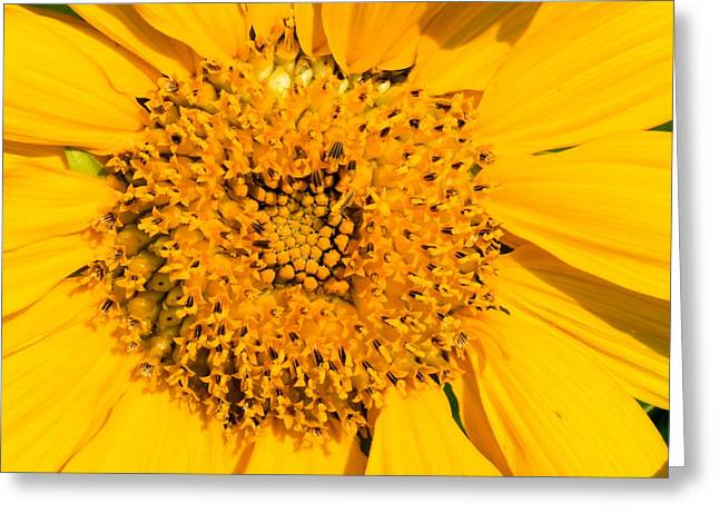 Domesticated Flower Greeting Cards - Smiling Sunflower Greeting Card by Amanda Kiplinger