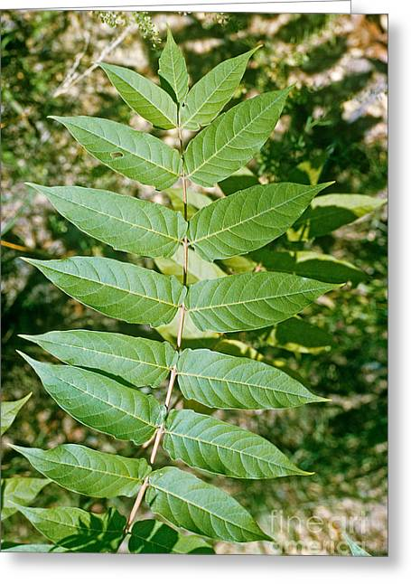 Glabra Greeting Cards - Smooth Sumac Leaves Greeting Card by Robert Ashworth