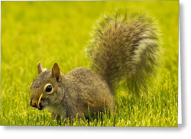 Gray Squirrel Greeting Cards - Snaggletooth Squirrel in Grass Greeting Card by Bill Tiepelman