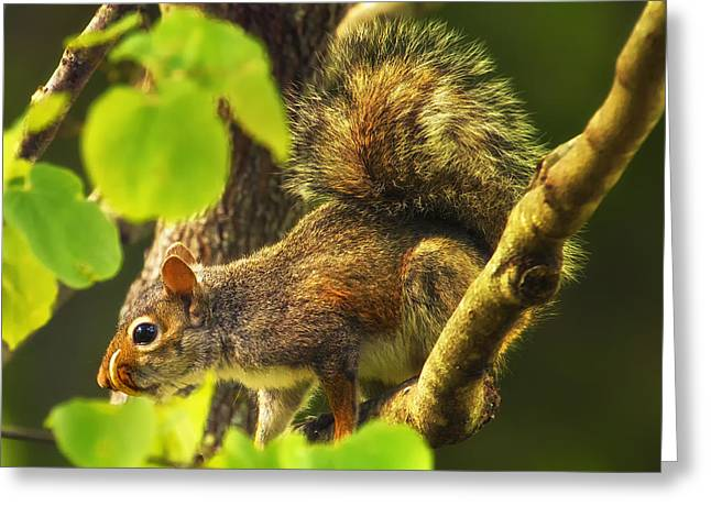 Gray Squirrel Greeting Cards - Snaggletooth Squirrel in Tree Greeting Card by Bill Tiepelman