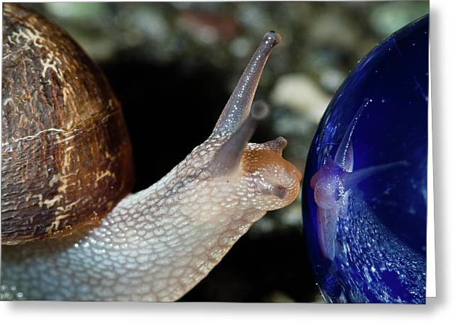 Snail Narcissism Greeting Card by Greg Nyquist