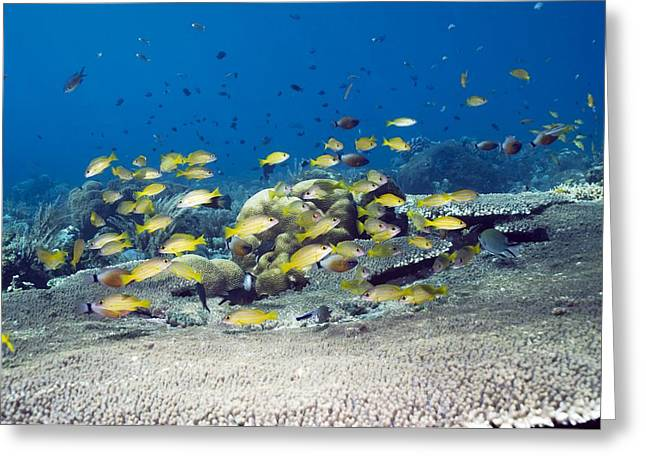 Yellow Line Greeting Cards - Snappers Over Coral Greeting Card by Georgette Douwma