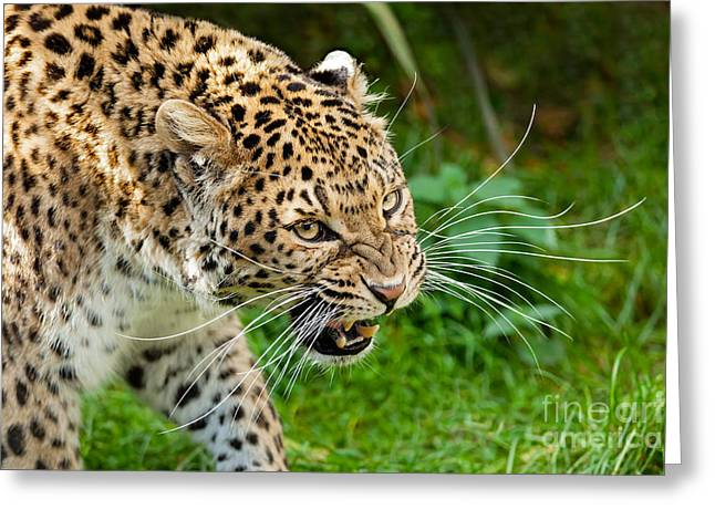 Growling Greeting Cards - Snarling North Chinese Leopard Greeting Card by Sarah Cheriton-Jones