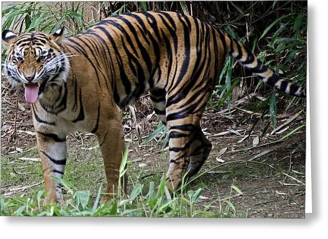 Snarling Tiger Greeting Card by Brendan Reals