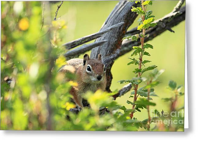 Val Armstrong Greeting Cards - Sneaky Chipmunk Greeting Card by Val Armstrong