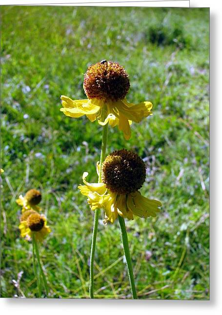 Pairs Greeting Cards - Sneezeweed Double Pair Greeting Card by Chris Gudger