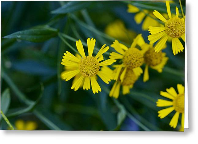 Helenium Autumnale Greeting Cards - Sneezeweed Greeting Card by Jack R Perry