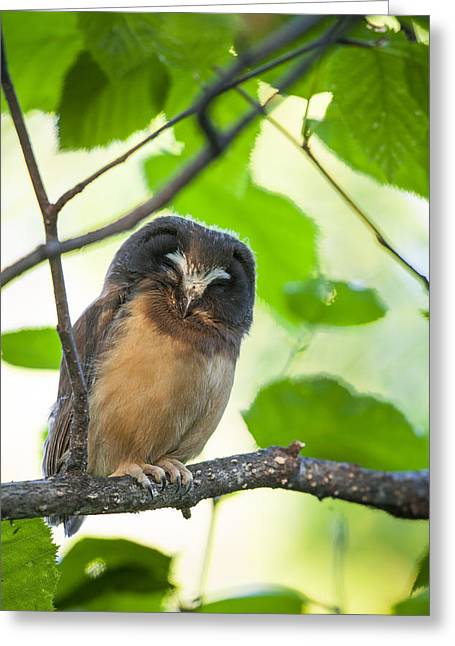 Saw Greeting Cards - Snoozing Saw-whet Owl Greeting Card by Tim Grams