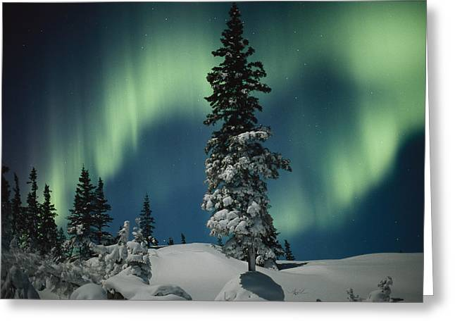 Snow And Night Sky Greeting Cards - Snow Blanketed Evergreen Trees Greeting Card by Norbert Rosing