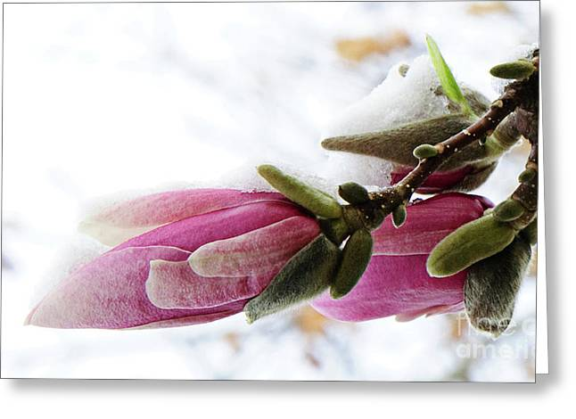 Snow Capped Greeting Cards - Snow Capped Magnolia Blossoms Greeting Card by Andee Design