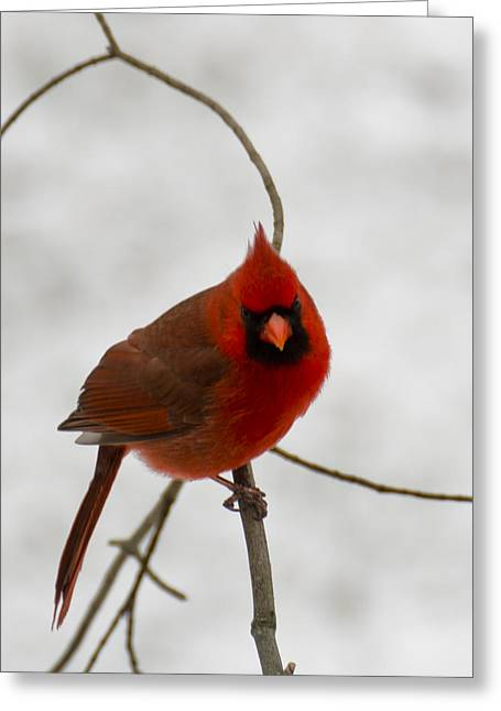 Wild Orchards Photographs Greeting Cards - Snow Cardinal Greeting Card by LeeAnn McLaneGoetz McLaneGoetzStudioLLCcom