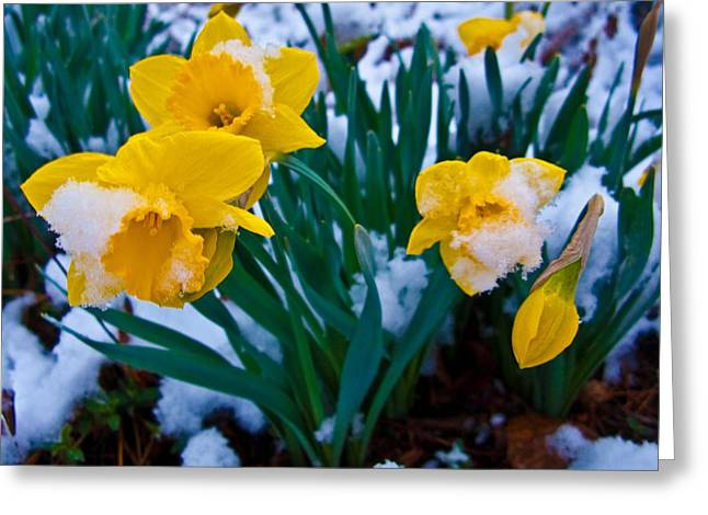 Ilendra Vyas Greeting Cards - Snow Covered Daffodil Flower Greeting Card by ilendra Vyas