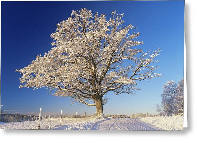 Quercus Greeting Cards - Snow Covered Oak Tree (quercus Robur) Greeting Card by Bjorn Svensson