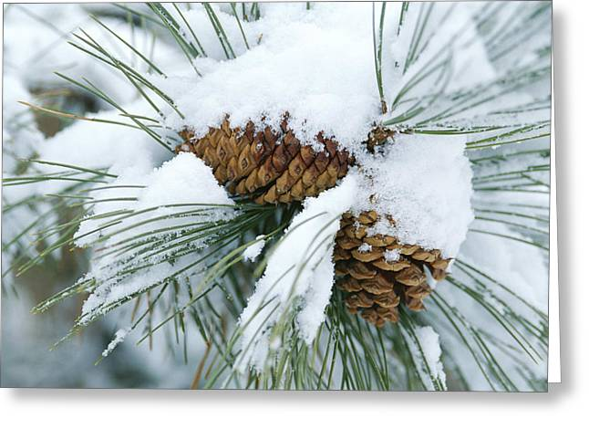 Pine Needles Greeting Cards - Snow Covers A Bundle Of Pine Needles Greeting Card by Rich Reid