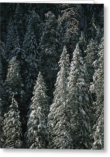 Woodland Scenes Greeting Cards - Snow Covers A Forest Of Evergreen Trees Greeting Card by John Burcham