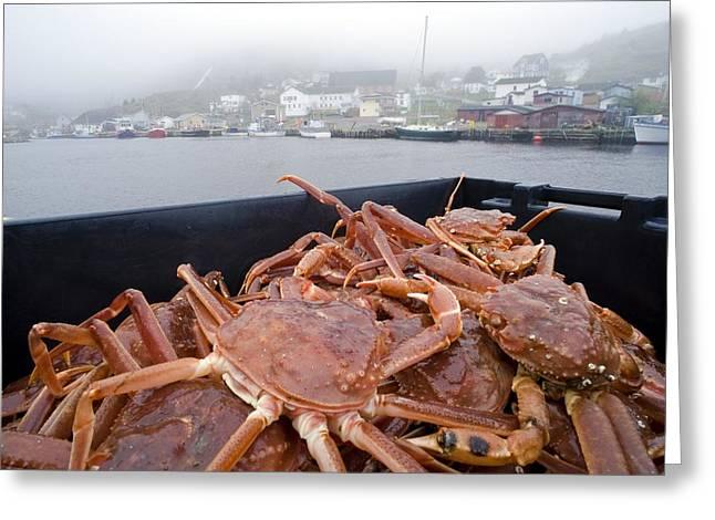 Arthropoda Greeting Cards - Snow Crabs, Canada Greeting Card by David Nunuk