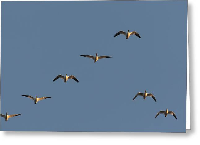 Flying Animal Greeting Cards - Snow Geese Flying In Formation Greeting Card by George Grall
