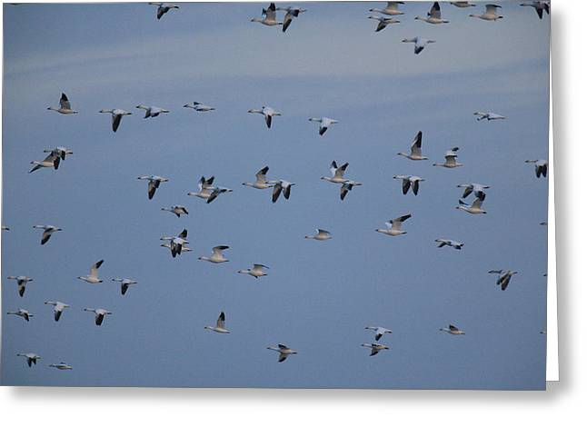 Snow Geese In Flight Greeting Cards - Snow Geese In Flight Greeting Card by George Grall