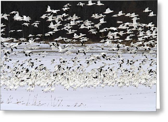 Take-out Greeting Cards - Snow Geese Standing On A Snow-covered Greeting Card by Philippe Henry